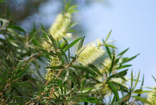 Полезные свойства Чайного дерева.